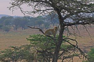 Serengeti-Nationalpark - Fahrt zum Ngorongoro Krater, der Leopard