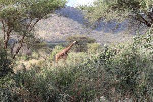 Fahrt zum Amboseli Nationalpark