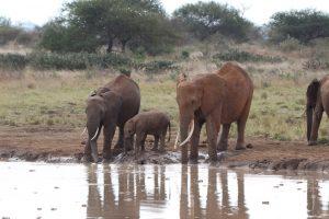 Tsavo Ost Nationalpark - Elefanten Baby Bad