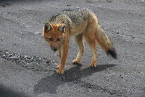 Nationalpark Cotopaxi - Ein Einwohner