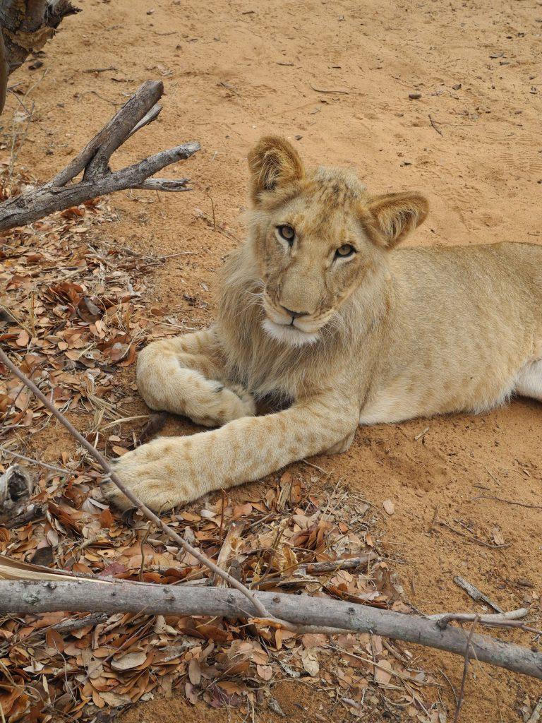 Simbabwe - Lion Encounter, 20.11.2019